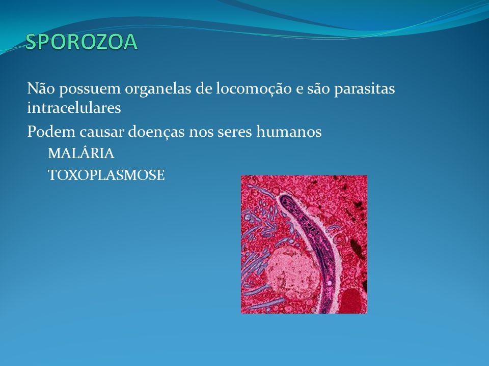 SPOROZOA Não possuem organelas de locomoção e são parasitas intracelulares. Podem causar doenças nos seres humanos.