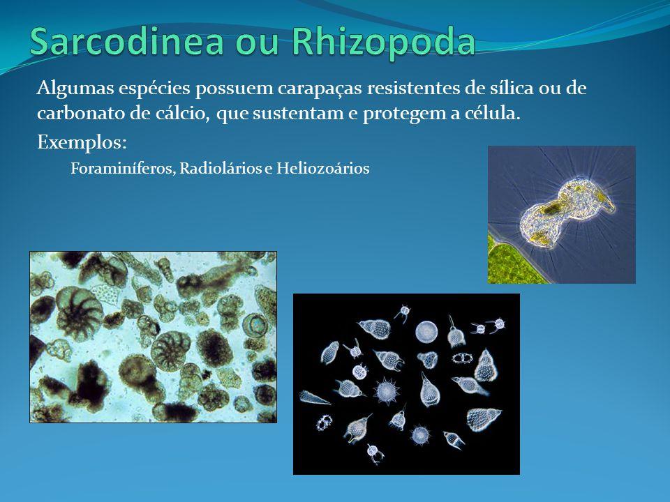 Sarcodinea ou Rhizopoda