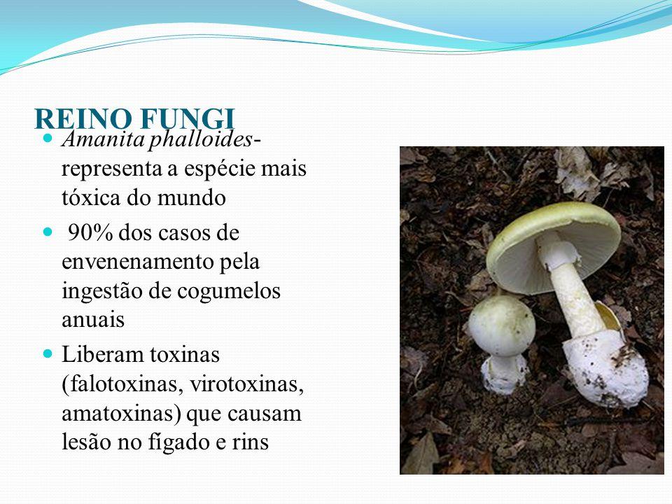 REINO FUNGI Amanita phalloides-representa a espécie mais tóxica do mundo. 90% dos casos de envenenamento pela ingestão de cogumelos anuais.