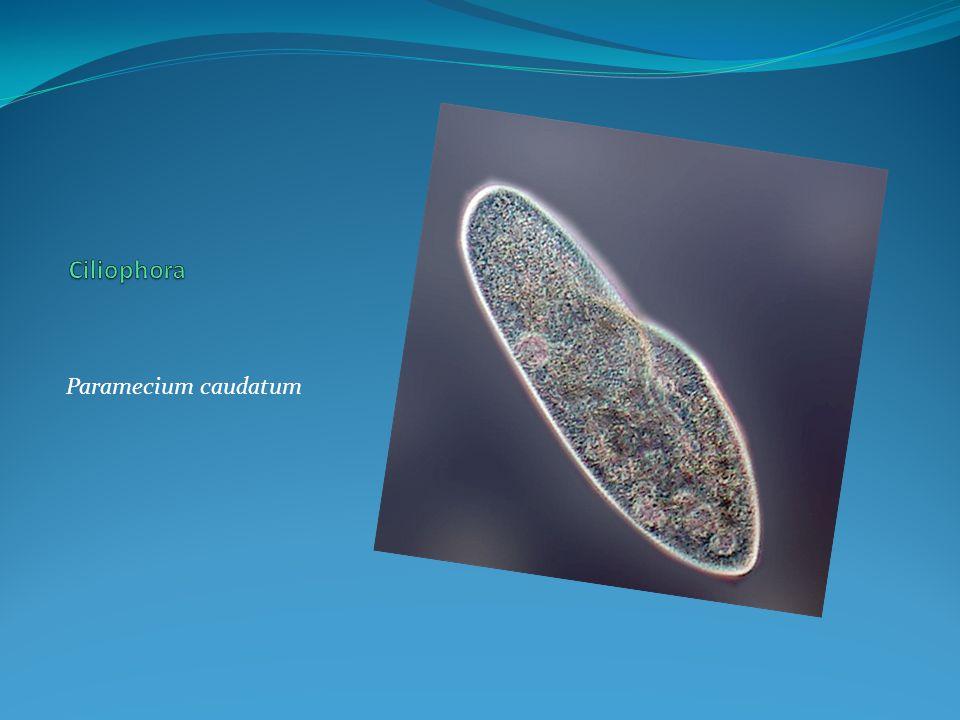 Ciliophora Paramecium caudatum