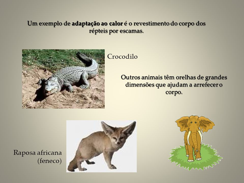 Raposa africana (feneco)