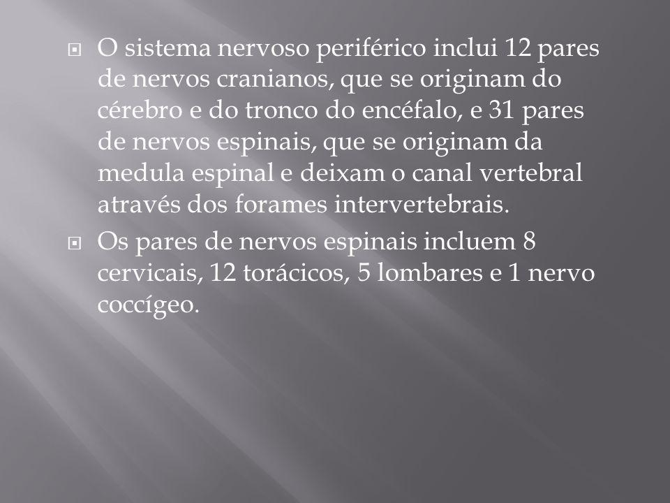 O sistema nervoso periférico inclui 12 pares de nervos cranianos, que se originam do cérebro e do tronco do encéfalo, e 31 pares de nervos espinais, que se originam da medula espinal e deixam o canal vertebral através dos forames intervertebrais.