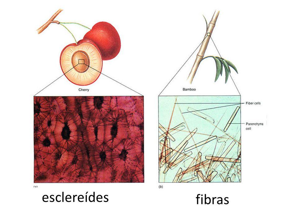 fibras esclereídes