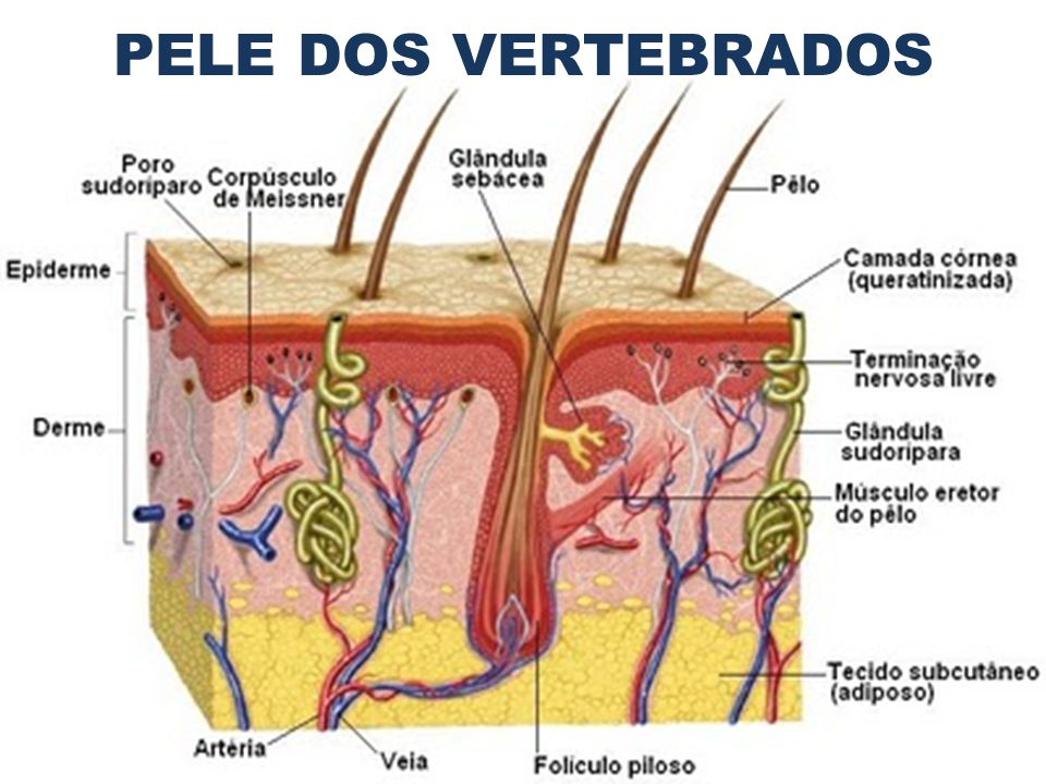 PELE DOS VERTEBRADOS