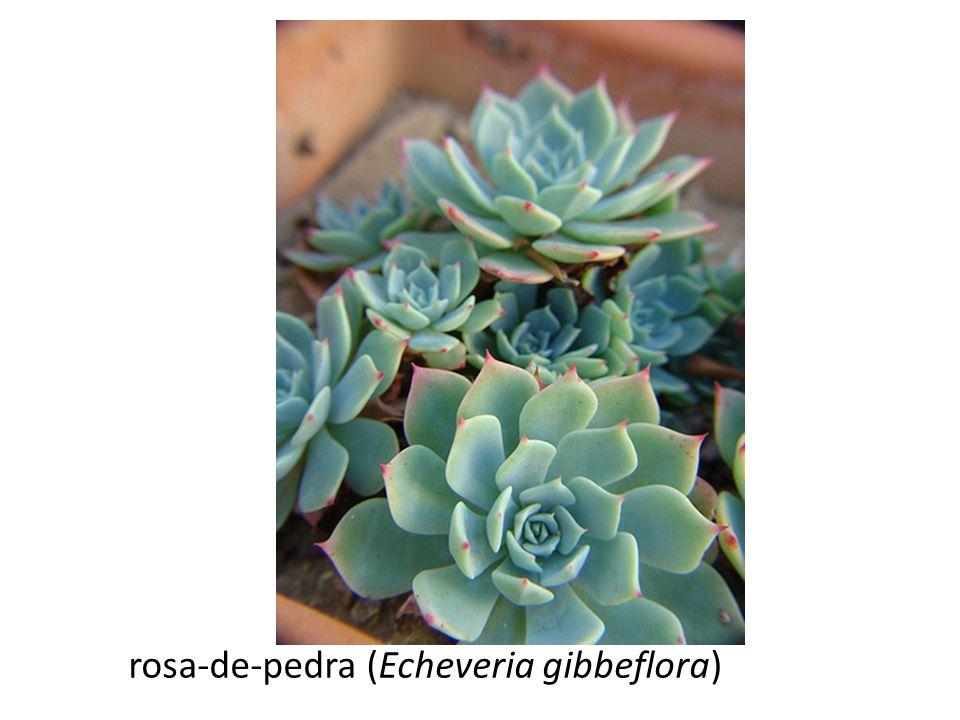 rosa-de-pedra (Echeveria gibbeflora)