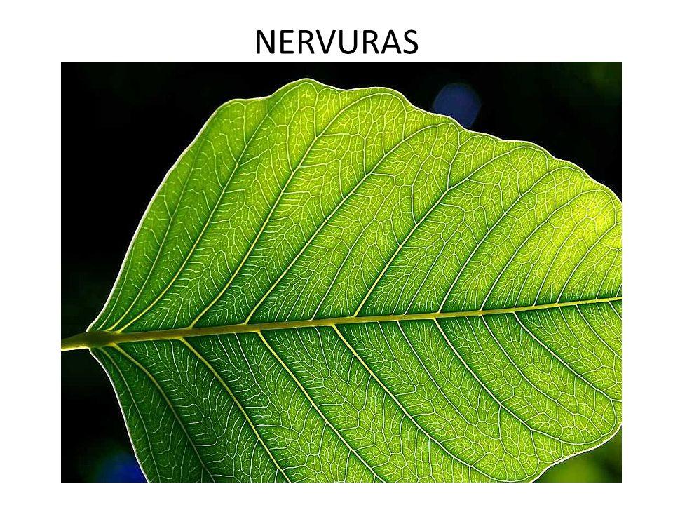 NERVURAS
