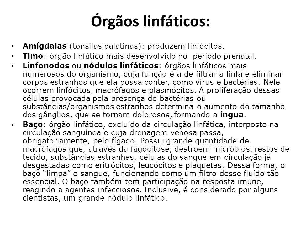 Órgãos linfáticos: Amígdalas (tonsilas palatinas): produzem linfócitos. Timo: órgão linfático mais desenvolvido no período prenatal.