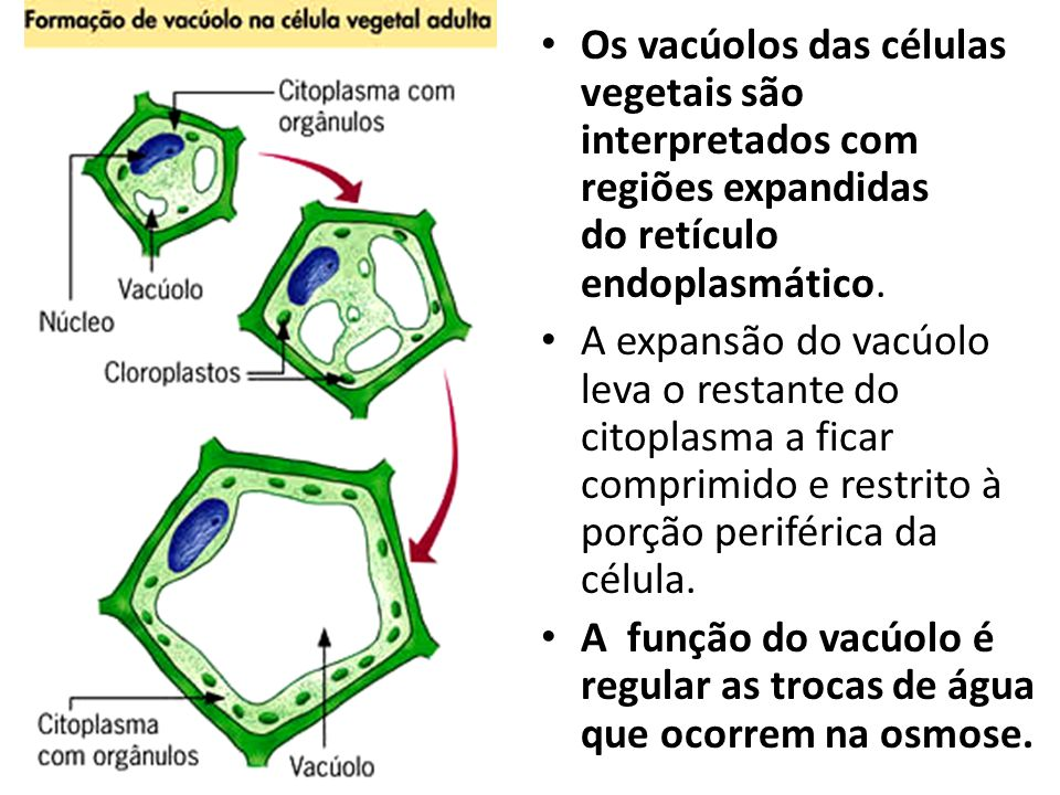 Os vacúolos das células vegetais são interpretados com regiões expandidas do retículo endoplasmático.
