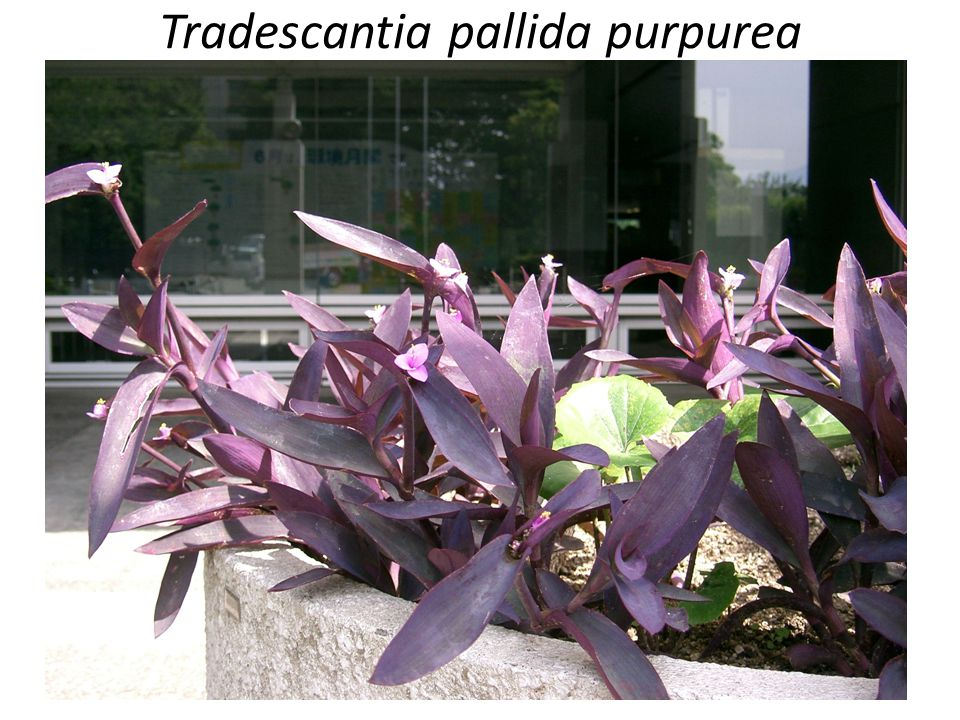 Tradescantia pallida purpurea