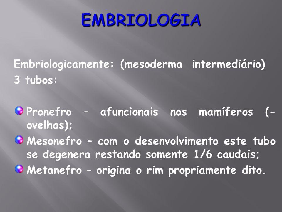 EMBRIOLOGIA Embriologicamente: (mesoderma intermediário) 3 tubos: