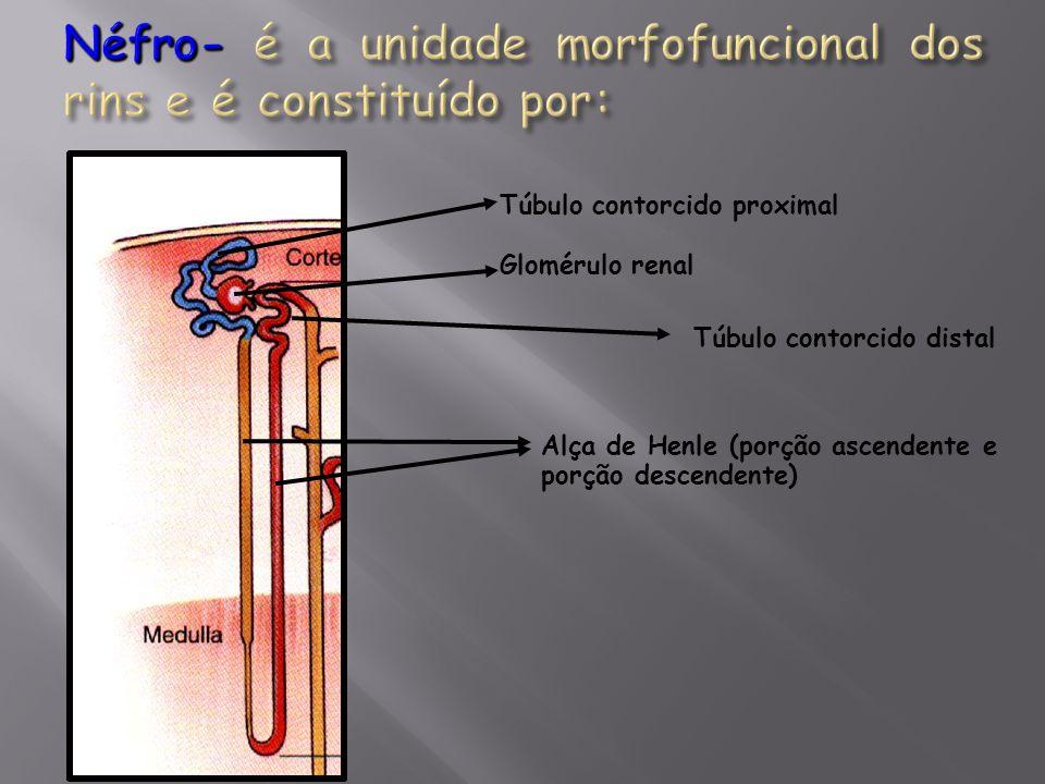Néfro- é a unidade morfofuncional dos rins e é constituído por: