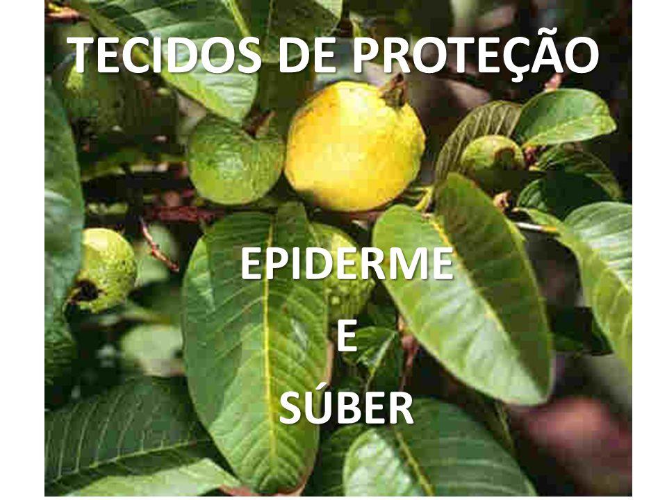 TECIDOS DE PROTEÇÃO EPIDERME E SÚBER