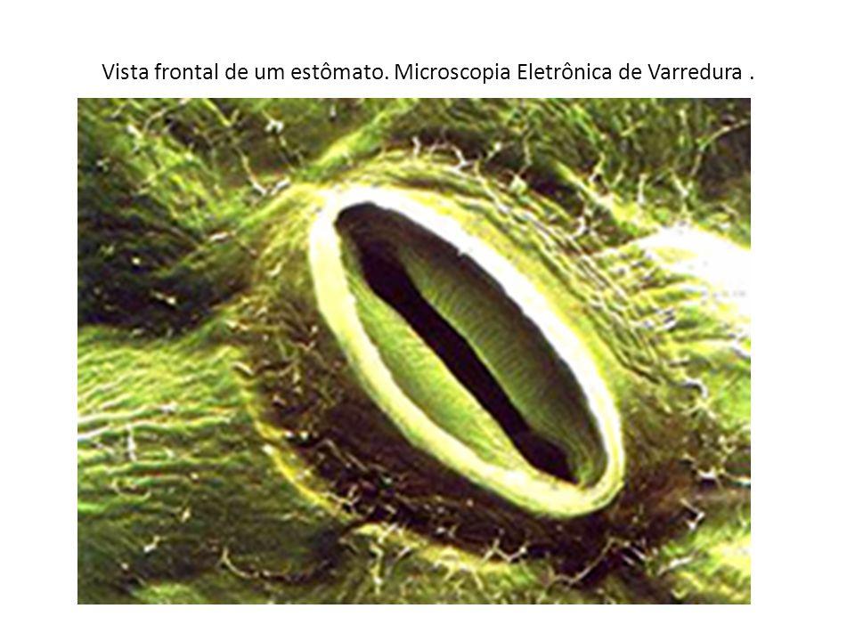 Vista frontal de um estômato. Microscopia Eletrônica de Varredura .