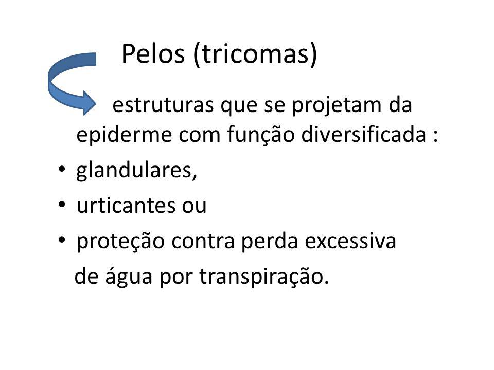 Pelos (tricomas) glandulares, urticantes ou