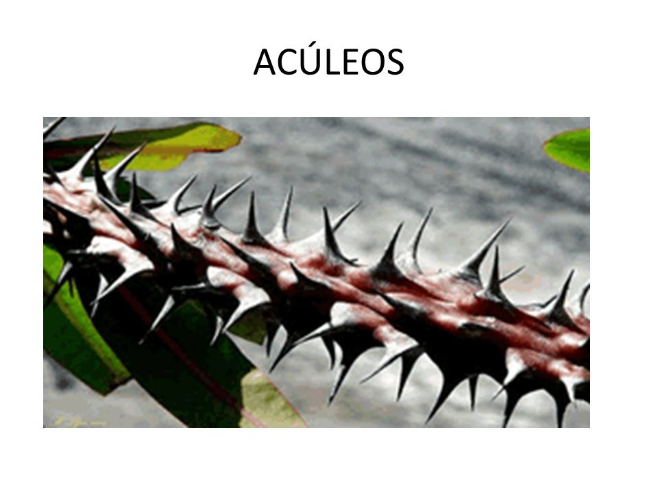 ACÚLEOS