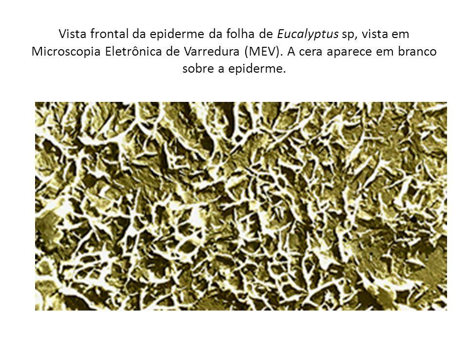 Vista frontal da epiderme da folha de Eucalyptus sp, vista em Microscopia Eletrônica de Varredura (MEV).