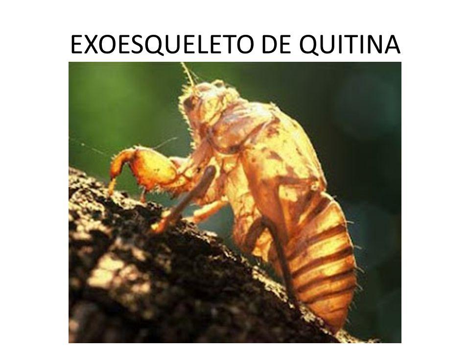 EXOESQUELETO DE QUITINA