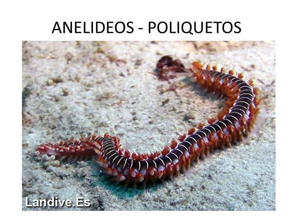 ANELIDEOS - POLIQUETOS