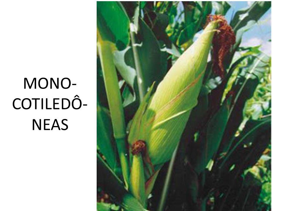 MONO- COTILEDÔ-NEAS