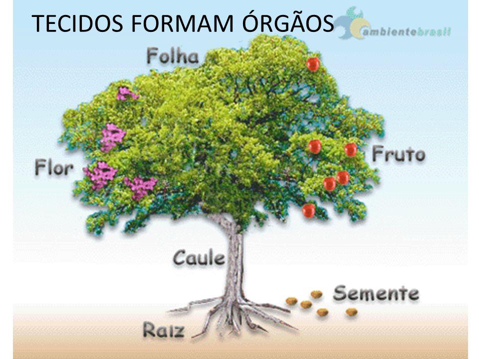 TECIDOS FORMAM ÓRGÃOS