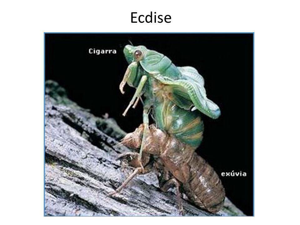 Ecdise