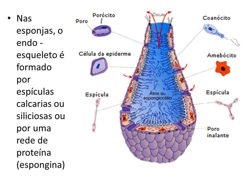 Nas esponjas, o endo -esqueleto é formado por espículas calcarias ou siliciosas ou por uma rede de proteína (espongina)