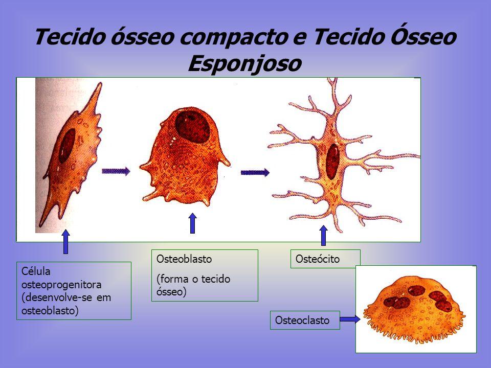 Tecido ósseo compacto e Tecido Ósseo Esponjoso