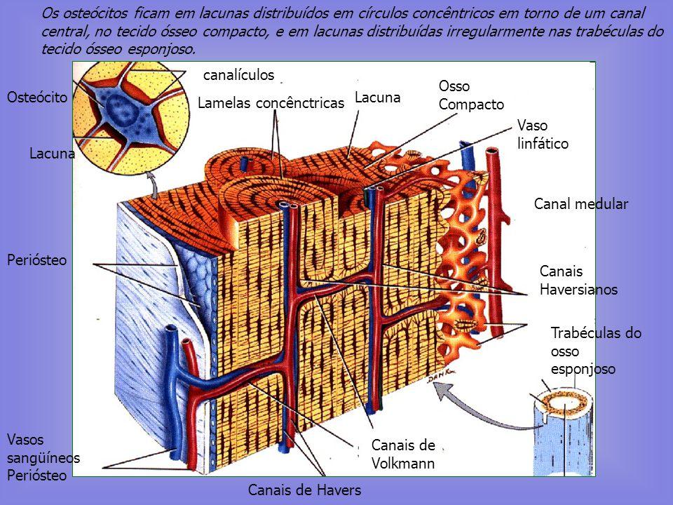 Os osteócitos ficam em lacunas distribuídos em círculos concêntricos em torno de um canal central, no tecido ósseo compacto, e em lacunas distribuídas irregularmente nas trabéculas do tecido ósseo esponjoso.