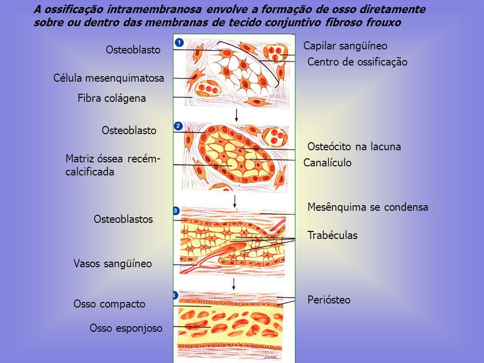 A ossificação intramembranosa envolve a formação de osso diretamente sobre ou dentro das membranas de tecido conjuntivo fibroso frouxo