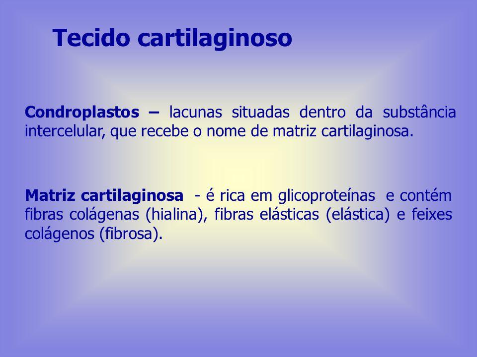 Tecido cartilaginoso Condroplastos – lacunas situadas dentro da substância intercelular, que recebe o nome de matriz cartilaginosa.