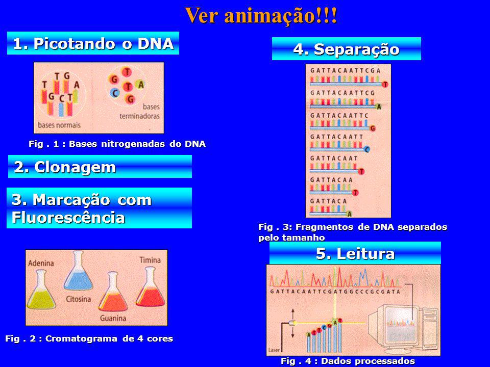 Ver animação!!! 1. Picotando o DNA 4. Separação 2. Clonagem