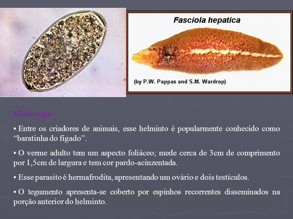 Morfologia Entre os criadores de animais, esse helminto é popularmente conhecido como baratinha do fígado .