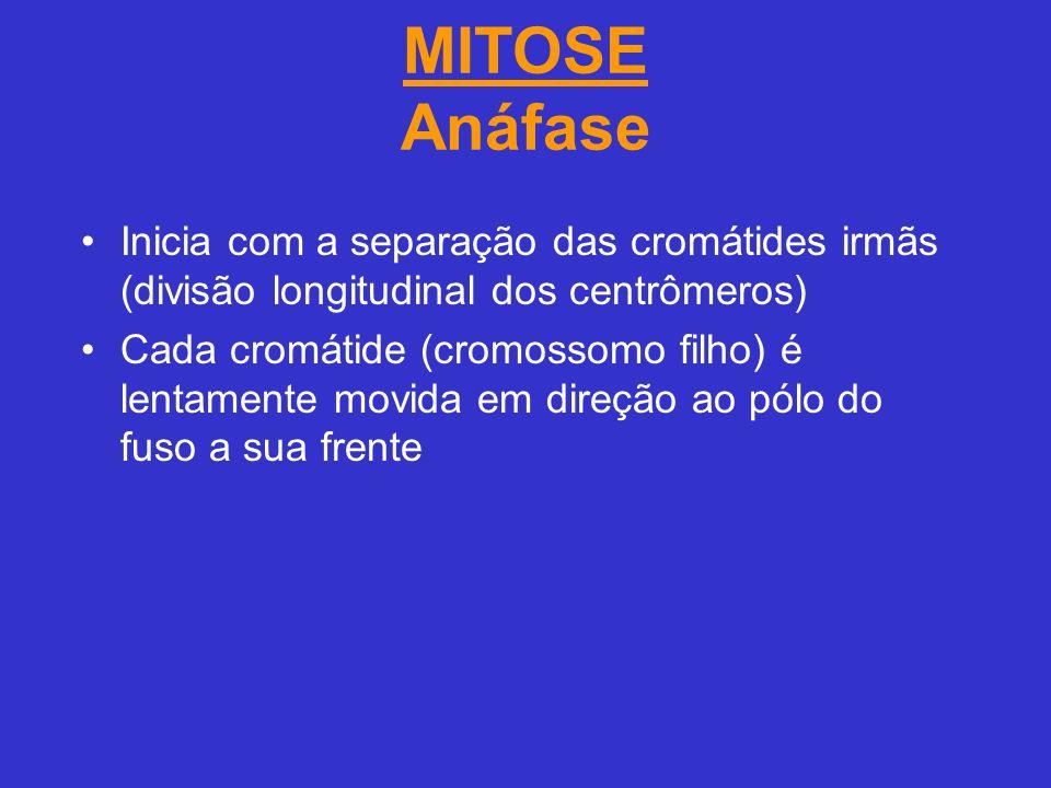 MITOSE Anáfase Inicia com a separação das cromátides irmãs (divisão longitudinal dos centrômeros)