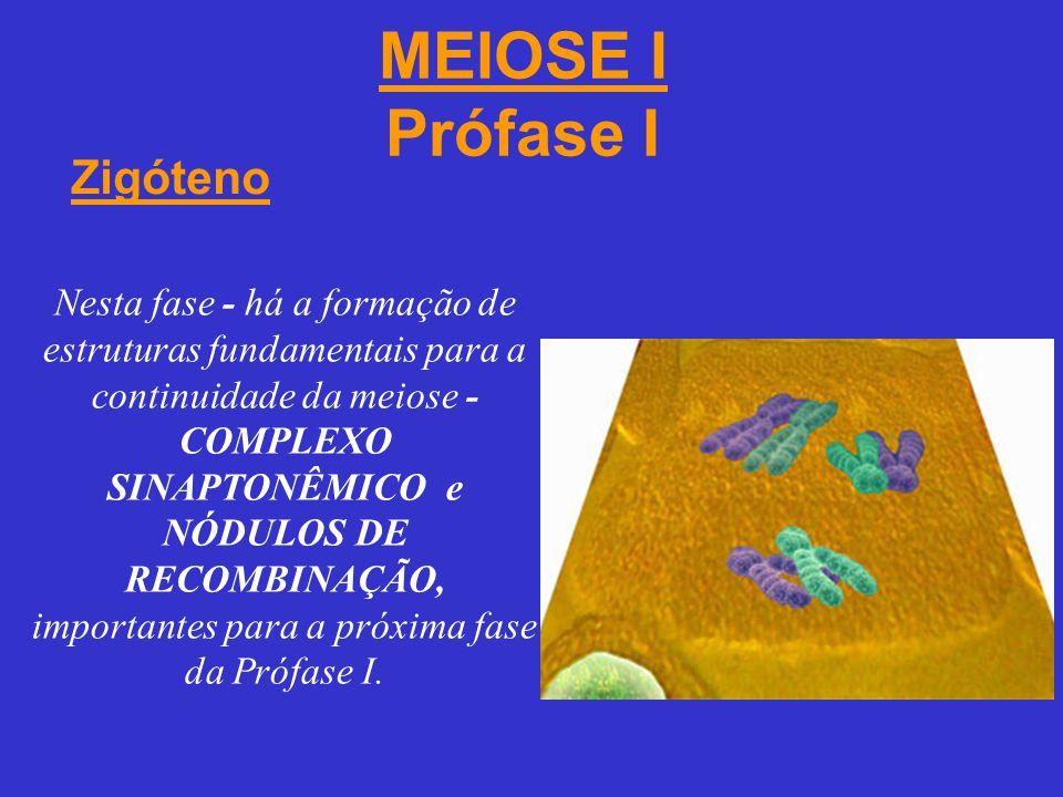 MEIOSE I Prófase I Zigóteno