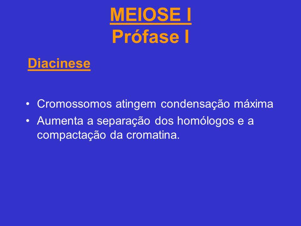 MEIOSE I Prófase I Diacinese Cromossomos atingem condensação máxima