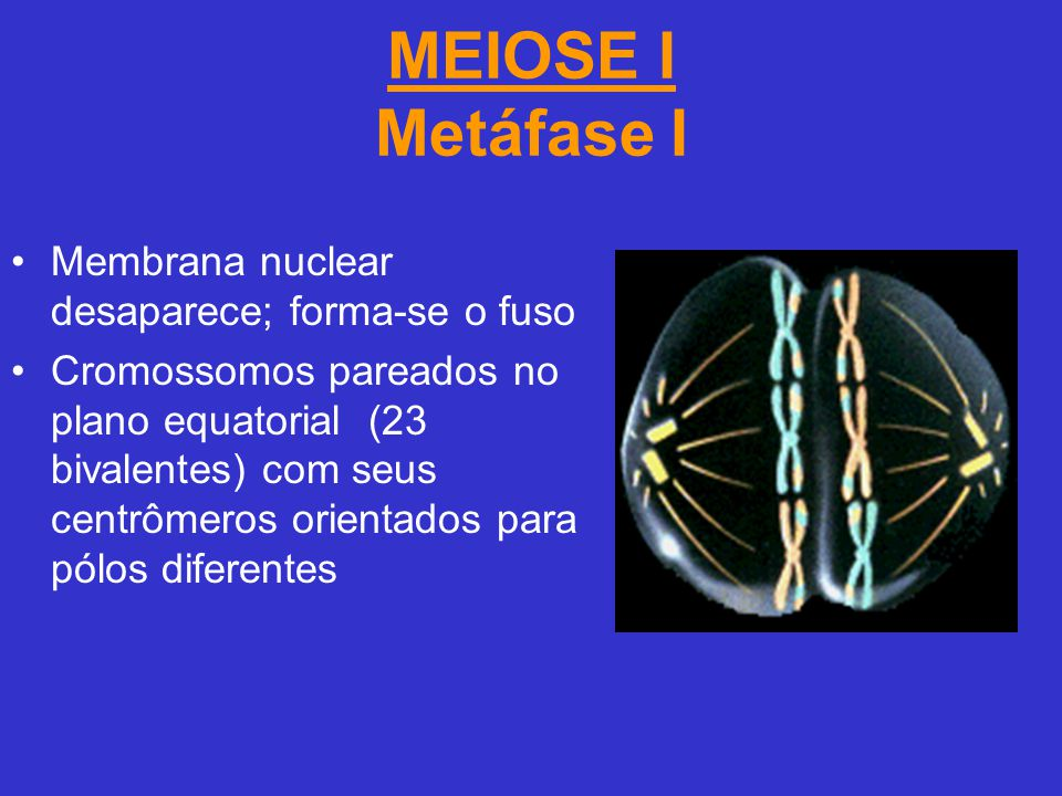 MEIOSE I Metáfase I Membrana nuclear desaparece; forma-se o fuso
