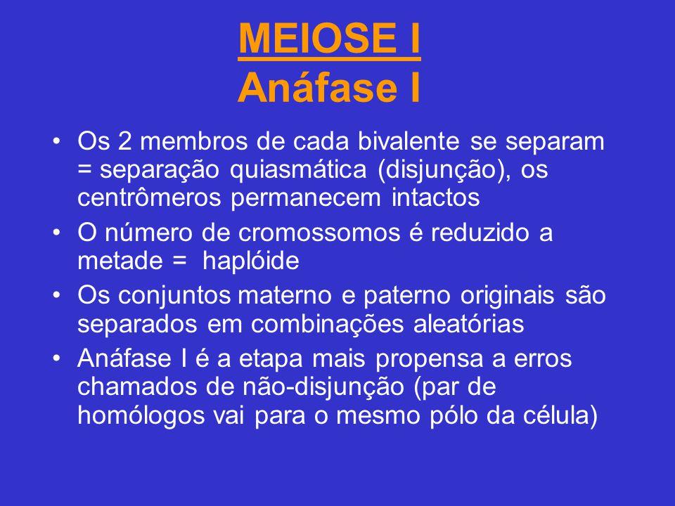 MEIOSE I Anáfase I Os 2 membros de cada bivalente se separam = separação quiasmática (disjunção), os centrômeros permanecem intactos.