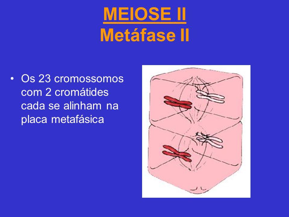 MEIOSE II Metáfase II Os 23 cromossomos com 2 cromátides cada se alinham na placa metafásica