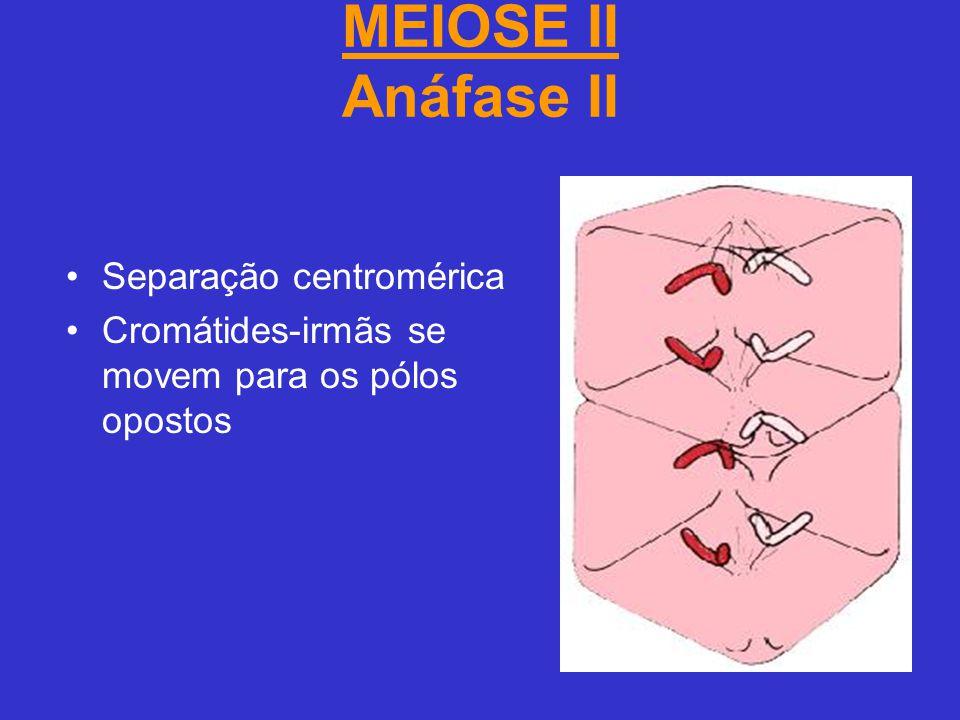 MEIOSE II Anáfase II Separação centromérica