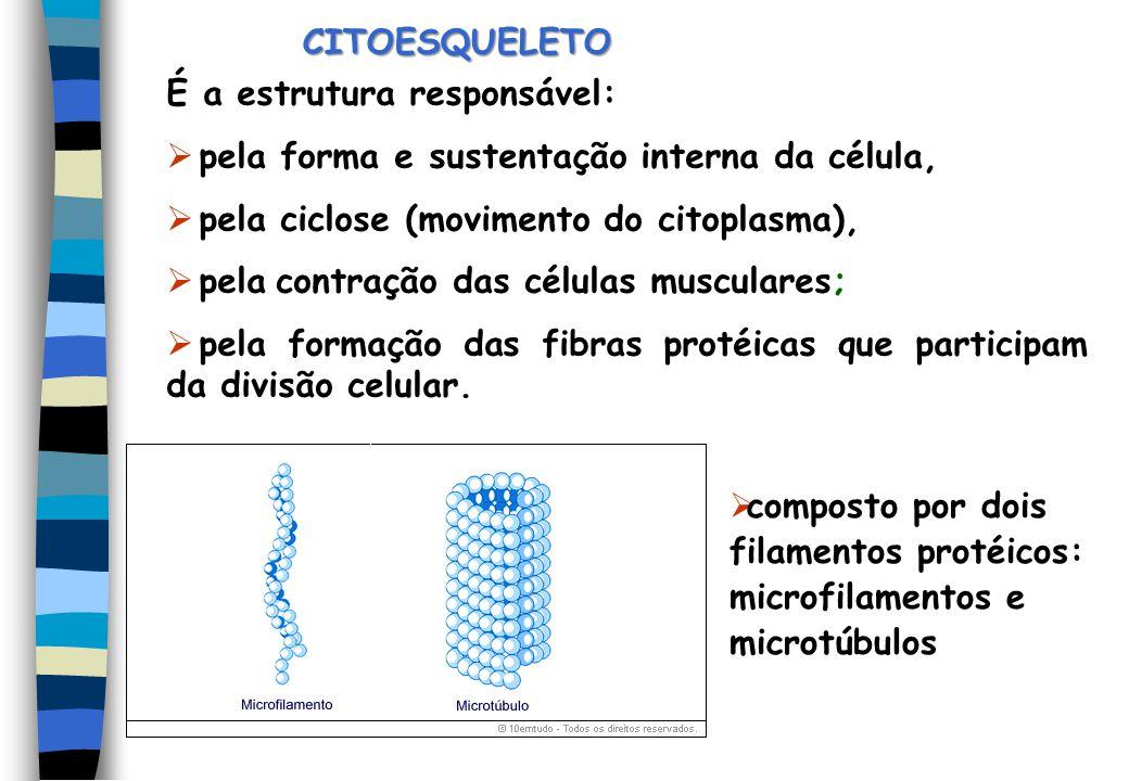 CITOESQUELETO É a estrutura responsável: pela forma e sustentação interna da célula, pela ciclose (movimento do citoplasma),
