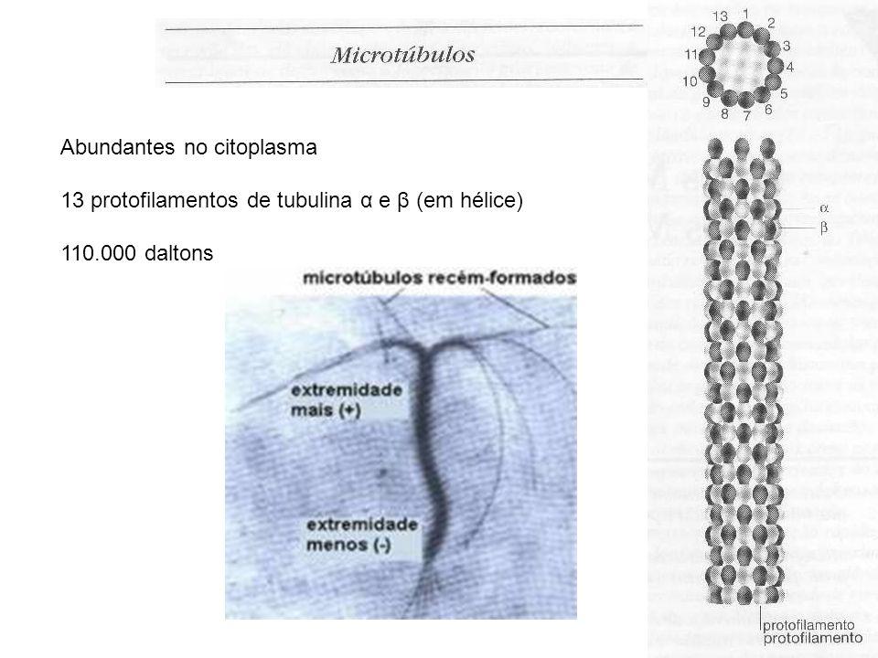Abundantes no citoplasma