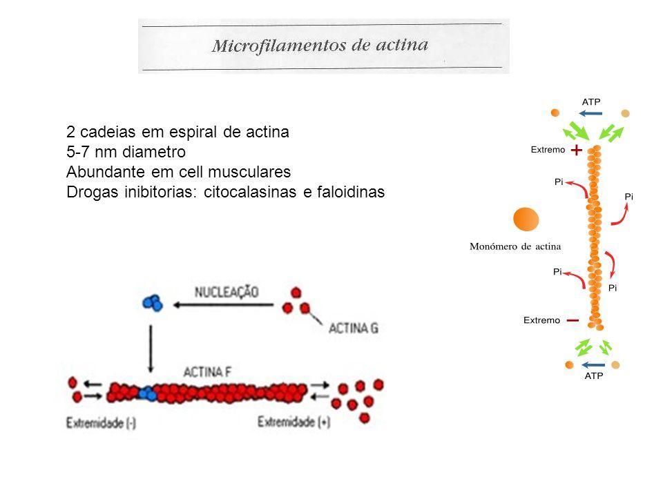 2 cadeias em espiral de actina