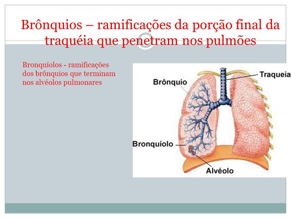 Brônquios – ramificações da porção final da traquéia que penetram nos pulmões