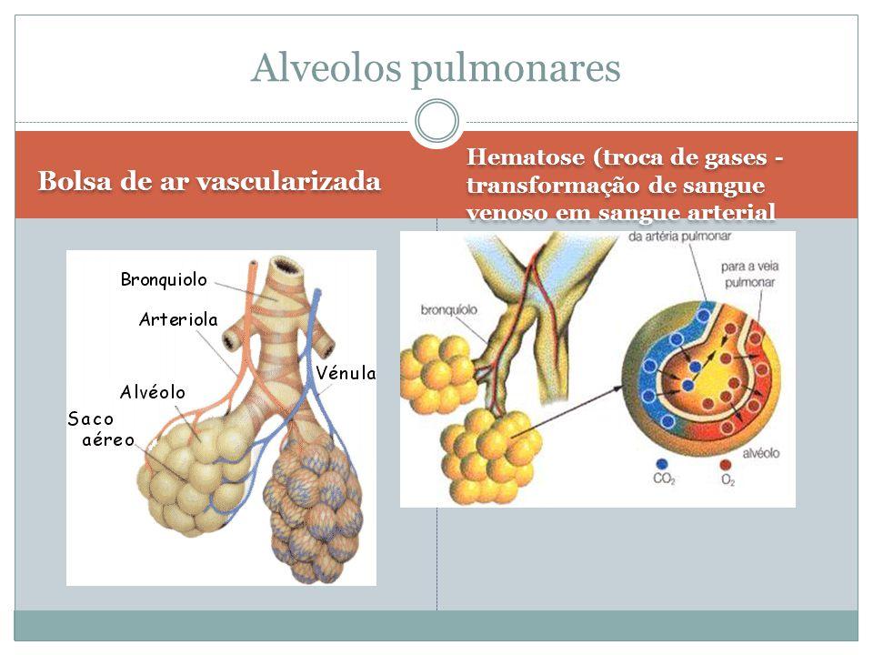 Alveolos pulmonares Bolsa de ar vascularizada