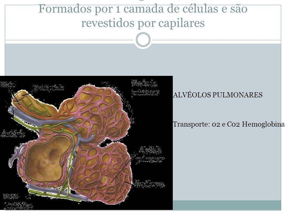 Pequenas câmaras esféricas onde ocorrem as trocas gasosas; Formados por 1 camada de células e são revestidos por capilares