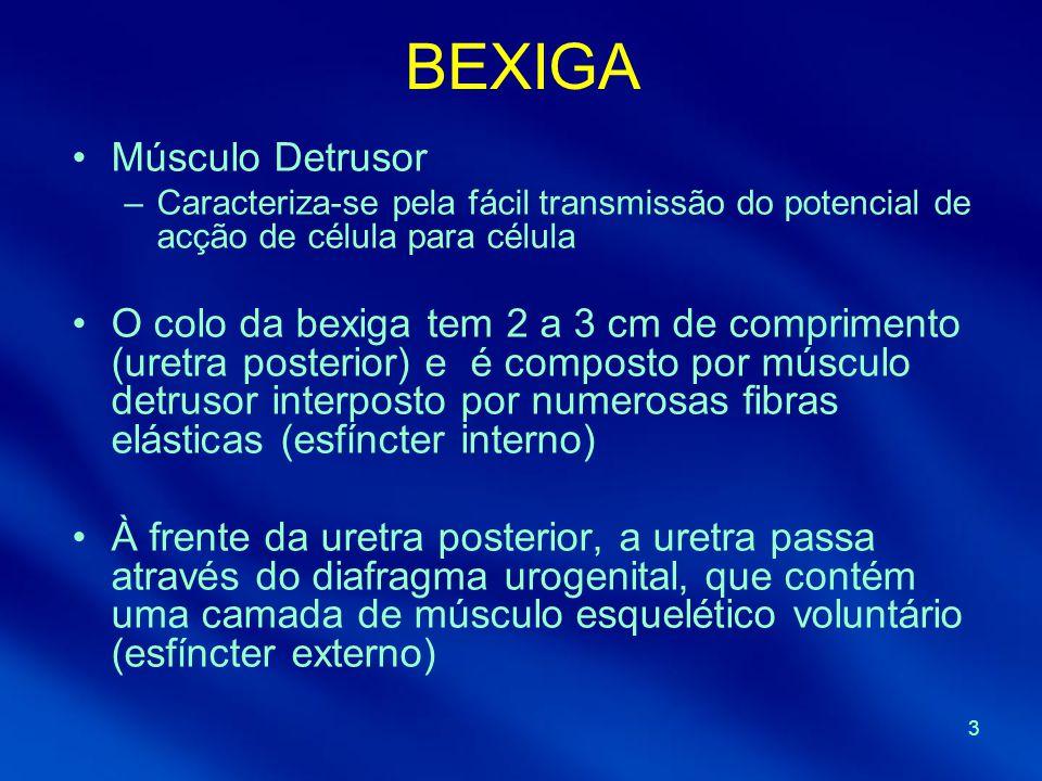 BEXIGA Músculo Detrusor