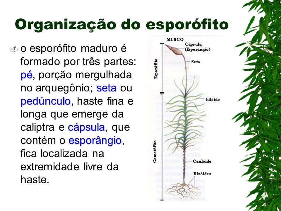 Organização do esporófito