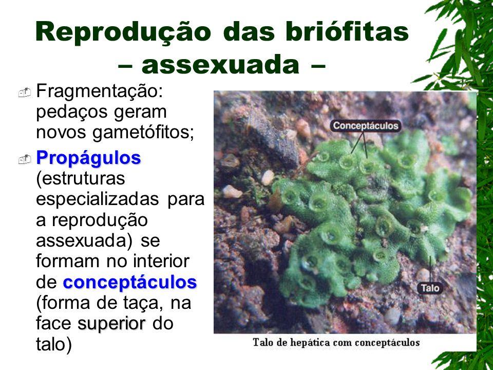 Reprodução das briófitas – assexuada –