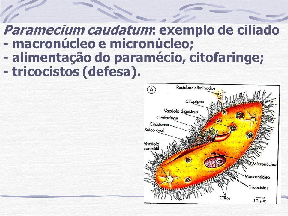 Paramecium caudatum: exemplo de ciliado