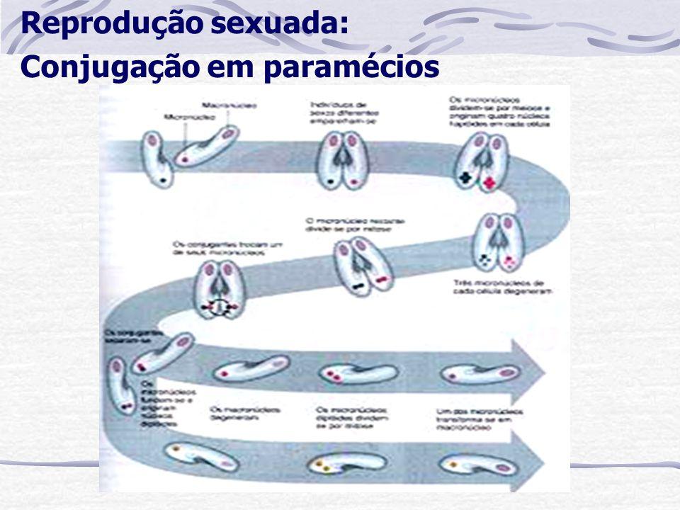 Reprodução sexuada: Conjugação em paramécios